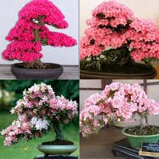 high quality indoor japanese bonsai tree buy cheap indoor japanese