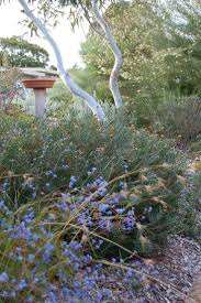 best australian native plants for pots and containers gardening best 25 bush garden ideas on pinterest australian native garden