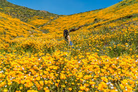 anza borrego super bloom anza borrego super bloom super hot super pretty lady atlas fox