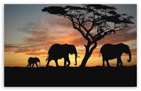 apple wallpaper elephant savannah elephants 4k hd desktop wallpaper for 4k ultra hd tv