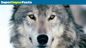 wolf facts fun facts about wolves youtube