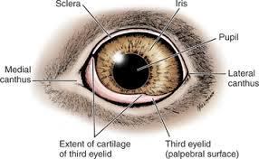 Surface Anatomy Eye Third Eyelid Veterian Key