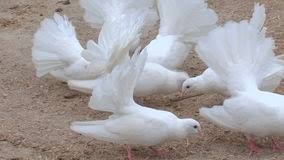 of ornamental pigeons stock footage of carrier