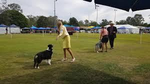 australian shepherd puppies queensland qld australian shepherd club open show bis youtube