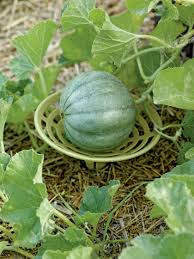 melon and squash cradles for even ripening gardener u0027s supply