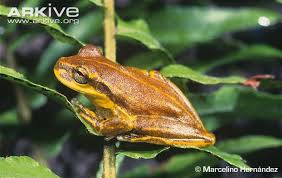 hispaniolan yellow tree frog photos and facts osteopilus