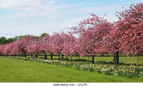 ornamental cherry trees stock photos ornamental cherry trees