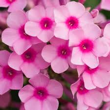 phlox flower buy perennial phlox phlox paniculata bright delivery by crocus