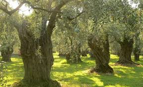 italian olives italy olive production