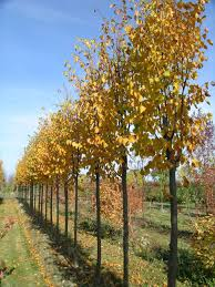 tree profile for the corinthian linden forest nursery inc