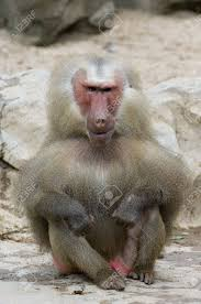 ugliest the ugliest baboon the world has ever seen stock photo picture