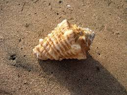 where to buy seashells 281 best seashells by the seashore images on colorful