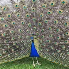merak hijau galeri foto merak biru terbaru hobi ternak