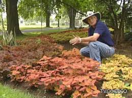 How To Grow Coleus Plants by Coleus Plant Youtube
