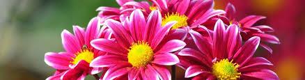 november seasonal flowers november season flowers 8 indian blooms