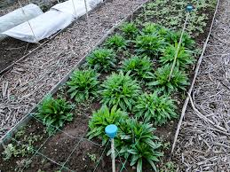 Sweet William Flowers Grow Your Cut Flowers U2013 Part Two Wellywoman