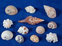twelve assorted sea shells small