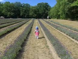 scribbles in toronto laveanne enjoying the lavender fields