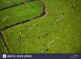 aerial view of cows grazing in a meadow stock photo royalty free