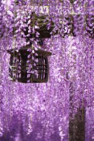 1131 best wisteria images on pinterest wisteria flowers and