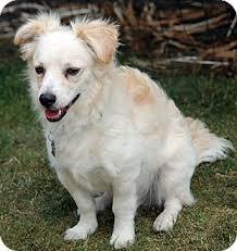 american eskimo dog yahoo griffin adopted dog lynnwood wa american eskimo dog spaniel