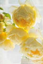 yellow peonies lovely light golden yellow peonies bring a touch of the