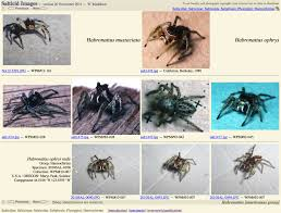 27000 images of jumping spiders wayne maddison lab