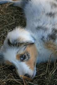 australian shepherd in spanish 65 best australian shepherd puppies images on pinterest