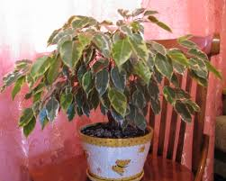 Braided Hibiscus Tree Pictures by The Ultimate Ficus Benjamina Care Guide 101 Tips