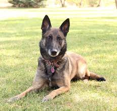 belgian shepherd nz 5 dog breeds you may not have heard can herd