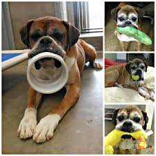 boxer dog health questions leo the puppy mill rescue boxer always has his mouth full