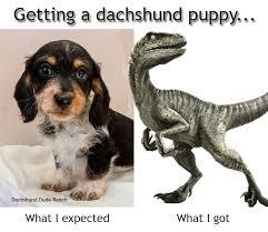 Weiner Dog Meme - funny dachshund memes 28 images 8 funny dachshund memes what