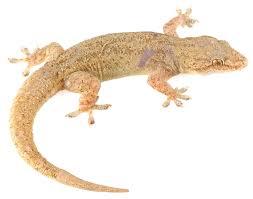 hemidactylus frenatus reptiles of ecuador tropical herping