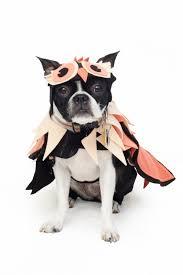 Dog Halloween Costumes Girls 25 Boston Terrier Costume Ideas Boston