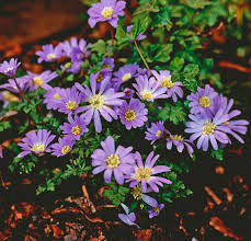 anemone plant how to grow wood anemones gardening