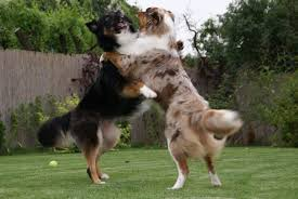 australian shepherd with german shepherd do australian shepherds shed u2022 bunkblog