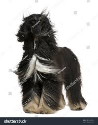 afghan hound kennel in australia afghan hound his hair wind 4 stock photo 52492801 shutterstock