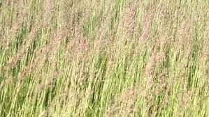 ornamental grass swaying in the stock footage 4884818