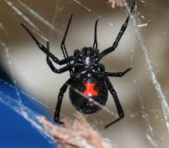 Black Widow Spiders Had A - spider control in san jose by planet orange