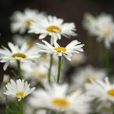 Daisy The Flower - gardening i u0027ll give you a daisy a day dear northern star