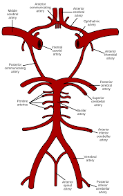 Anterior Association Area Circle Of Willis Wikipedia