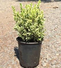 variegated boxwood for sale the planting tree