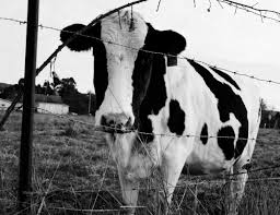cow guppy road