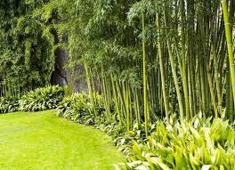 Good Backyard Trees by Best 20 Privacy Plants Ideas On Pinterest Privacy Trellis