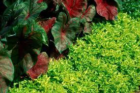 plant joseph u0027s coats for enduring beauty mississippi state