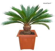 sylvester palm tree price sago palm tree japanese sago palm cycas revoluta real palm trees