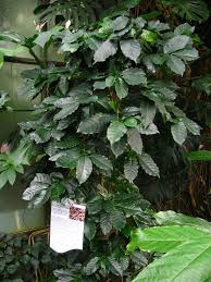 houseplants coffee plant how to grow coffee plant