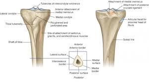 Knee Bony Anatomy Anatomy Of The Knee Bones Muscles Arteries Veins Nerves Hubpages