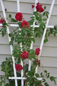 the cane hardy climbing rose hardy to zone 3 quadra