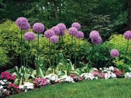 allium flowers allium bulbs farmer